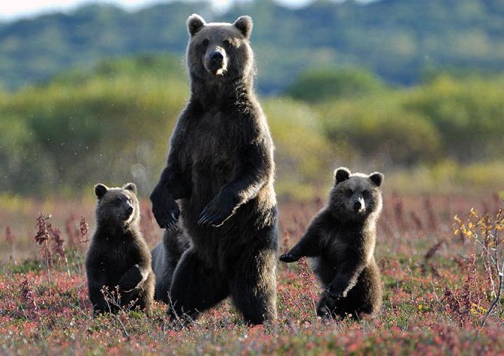 Kamchatka pays des ours et des volcans - X_1731