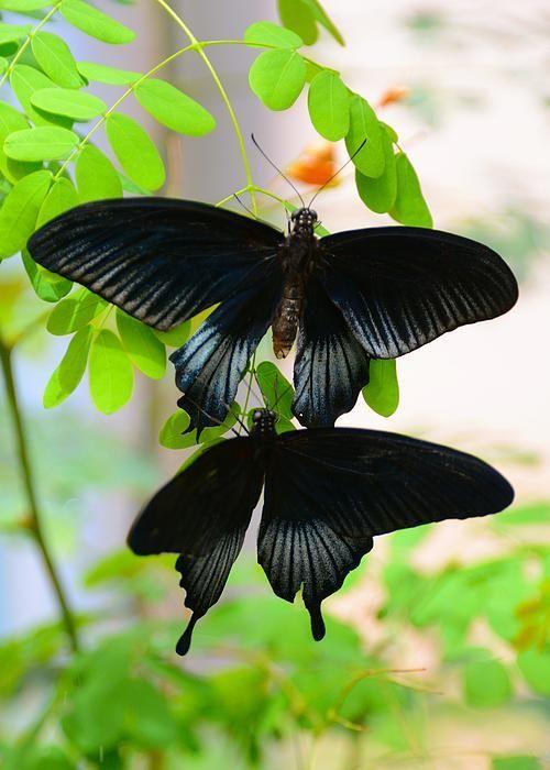 Merveilles de la nature - les papillons - - Page 2 X_2219