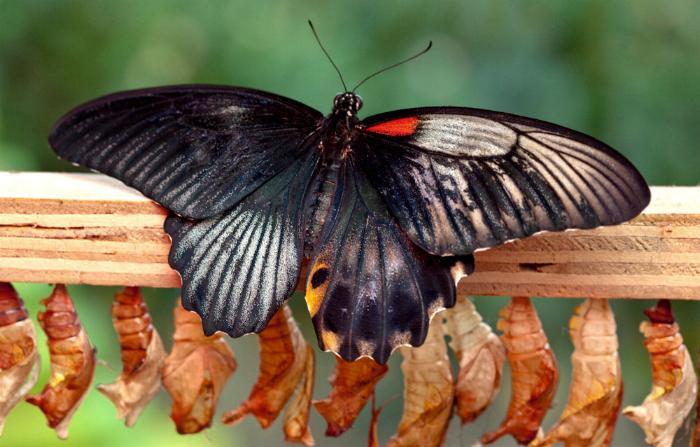 Merveilles de la nature - les papillons - - Page 2 X_2320