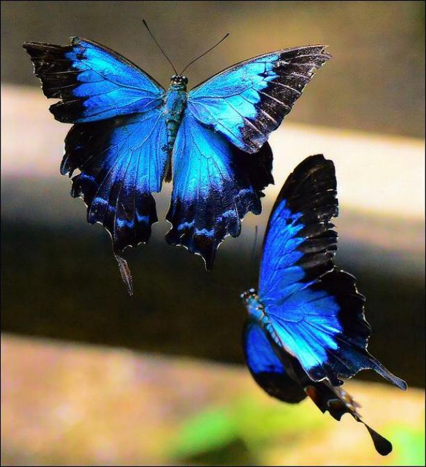 Merveilles de la nature - les papillons - - Page 2 X_2417