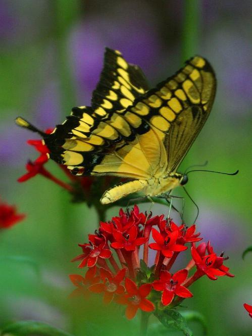 Merveilles de la nature - les papillons - - Page 2 X_2518