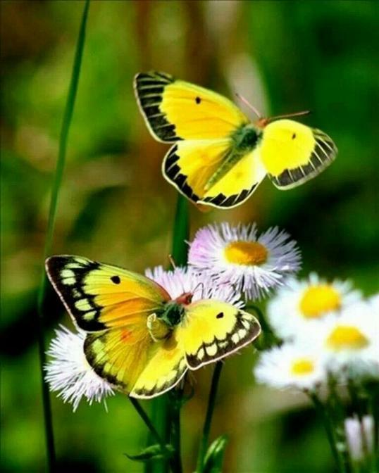 Merveilles de la nature - les papillons - - Page 2 X_2618