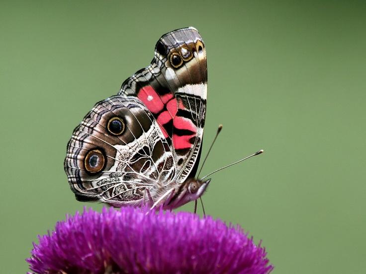 Merveilles de la nature - les papillons - - Page 2 X_2719