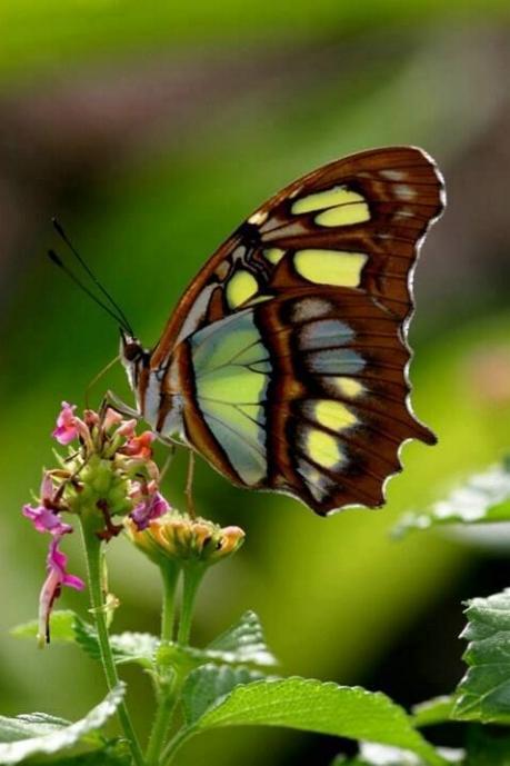 Merveilles de la nature - les papillons - - Page 2 X_2916