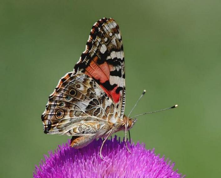 Merveilles de la nature - les papillons - - Page 2 X_3117