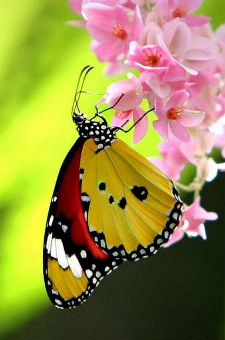 Merveilles de la nature - les papillons - - Page 2 X_3219