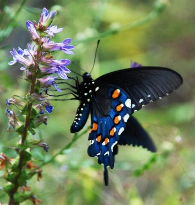 Merveilles de la nature - les papillons - - Page 2 X_3316