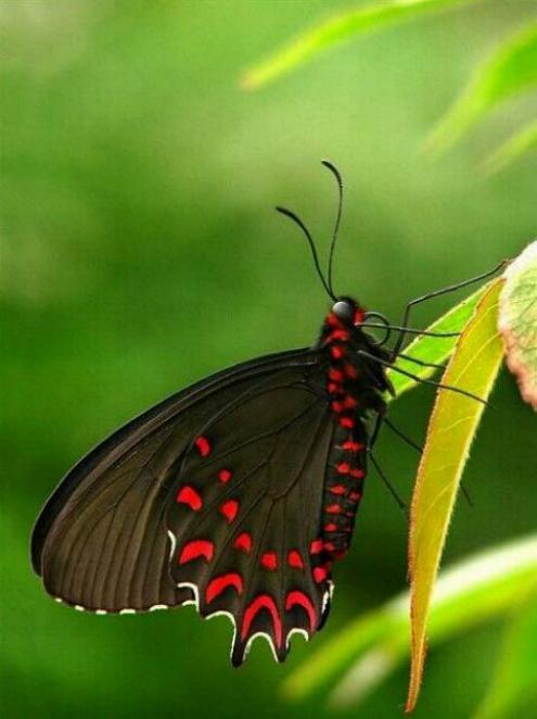 Merveilles de la nature - les papillons - - Page 2 X_3515