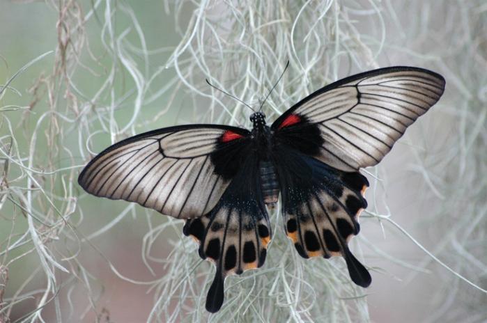 Merveilles de la nature - les papillons - - Page 2 X_3714
