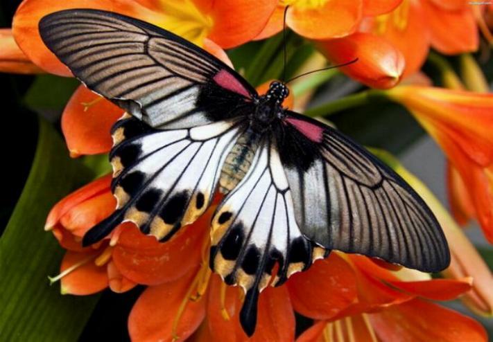 Merveilles de la nature - les papillons - - Page 2 X_4215