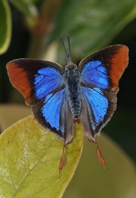 Merveilles de la nature - les papillons - - Page 2 X_4515