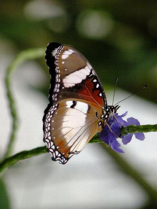 Merveilles de la nature - les papillons - - Page 3 X_4716