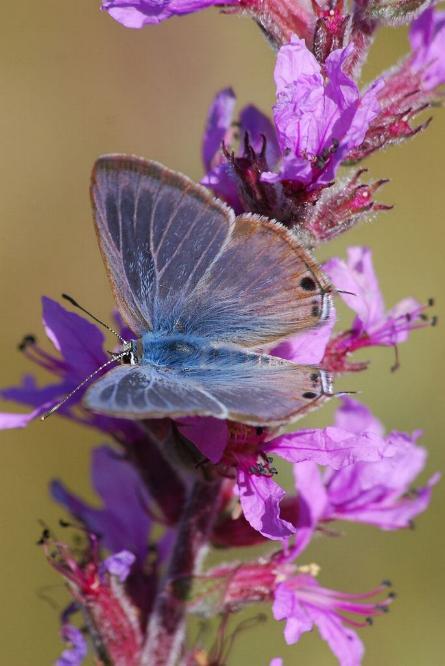 Merveilles de la nature - les papillons - - Page 3 X_5016