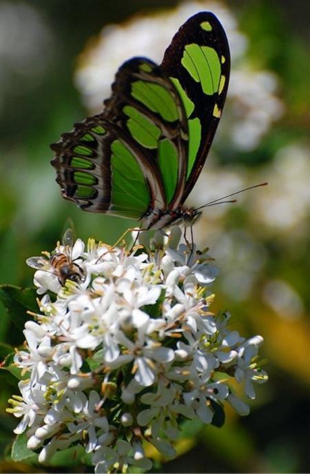 Merveilles de la nature - les papillons - - Page 3 X_5115