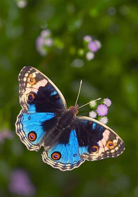 Merveilles de la nature - les papillons - - Page 3 X_5313