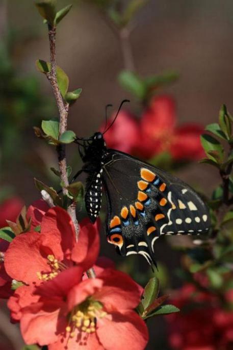 Merveilles de la nature - les papillons - - Page 3 X_5413