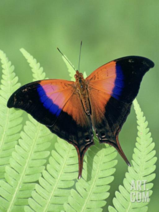Merveilles de la nature - les papillons - - Page 3 X_5513