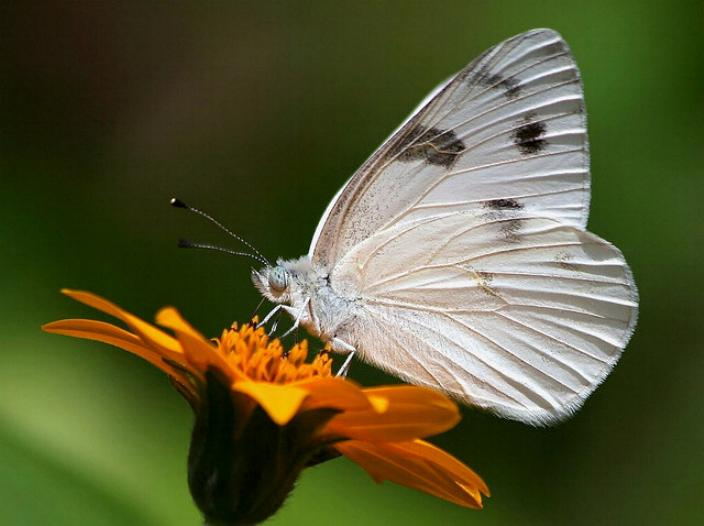 Merveilles de la nature - les papillons - - Page 3 X_5614
