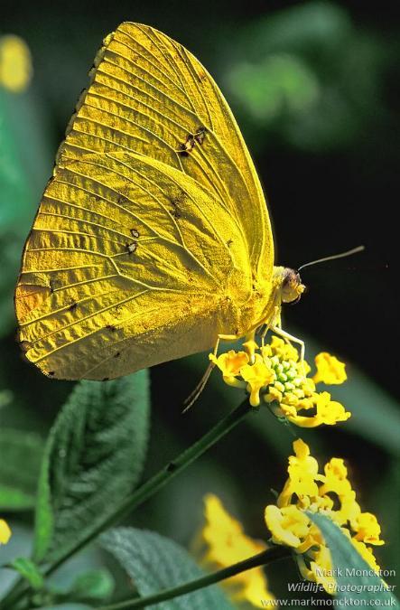 Merveilles de la nature - les papillons - - Page 3 X_5814