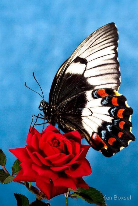 Merveilles de la nature - les papillons - - Page 3 X_5914
