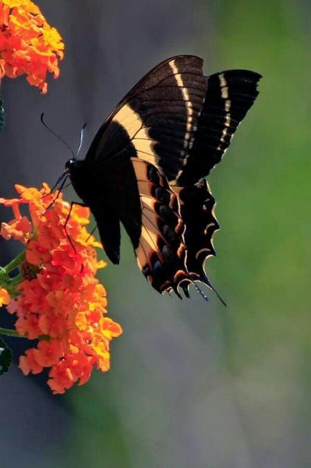 Merveilles de la nature - les papillons - - Page 3 X_6114