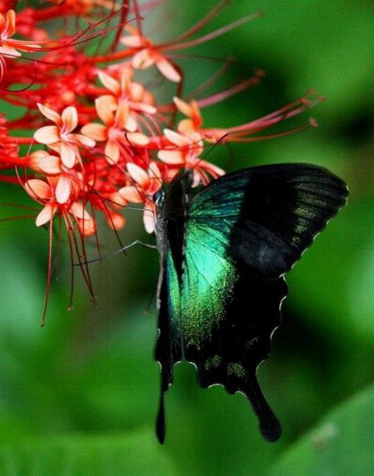 Merveilles de la nature - les papillons - - Page 3 X_6313