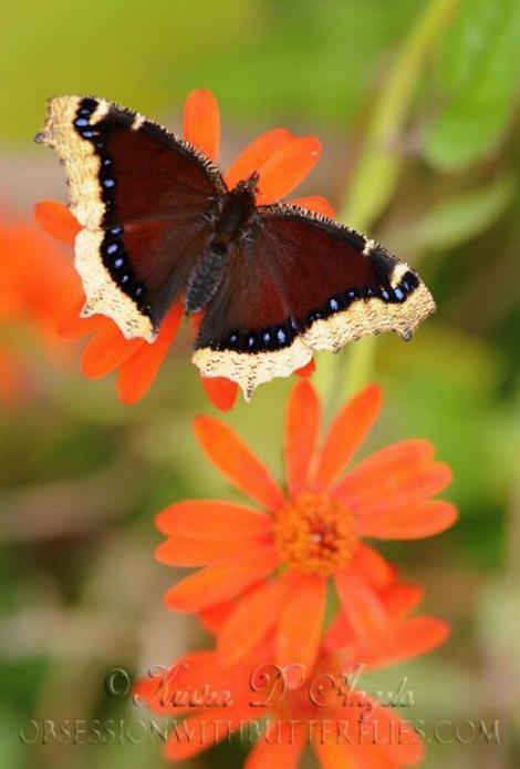Merveilles de la nature - les papillons - - Page 3 X_6814