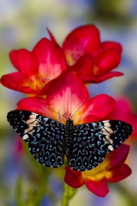 Merveilles de la nature - les papillons - - Page 3 X_7012