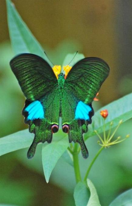 Merveilles de la nature - les papillons - - Page 4 X_7112