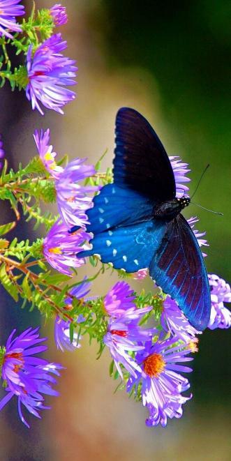 Merveilles de la nature - les papillons - - Page 4 X_7313
