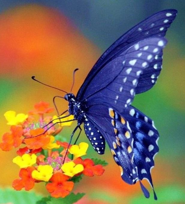 Merveilles de la nature - les papillons - - Page 4 X_7414