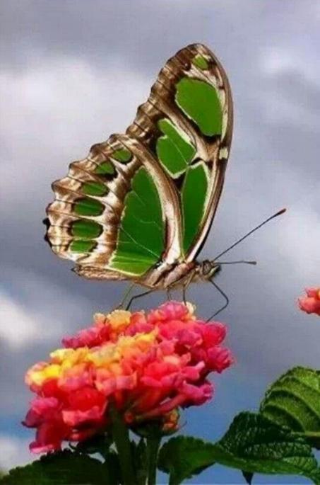 Merveilles de la nature - les papillons - - Page 4 X_7513