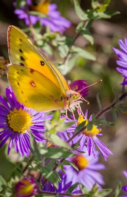 Merveilles de la nature - les papillons - - Page 4 X_7812
