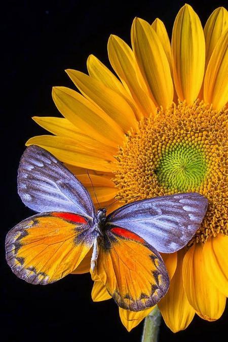 Merveilles de la nature - les papillons - - Page 4 X_8312