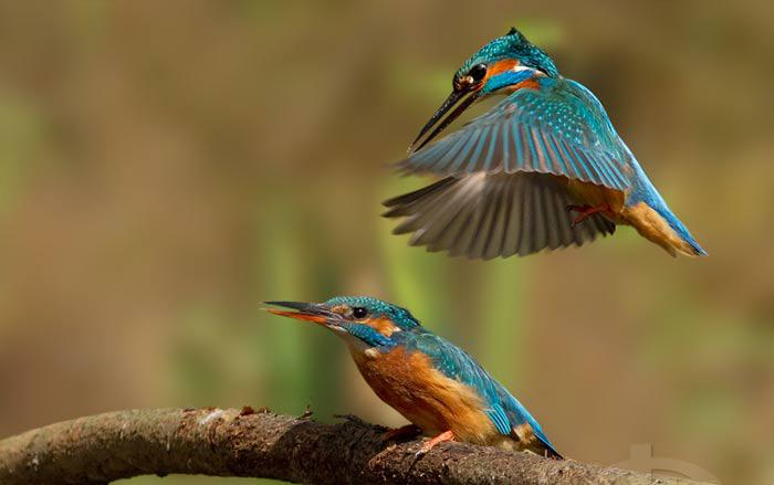 Les oiseaux du monde * - Page 4 X_8411