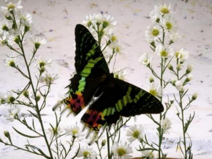 Merveilles de la nature - les papillons - - Page 4 X_8612