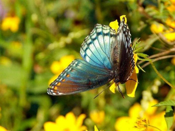 Merveilles de la nature - les papillons - - Page 4 X_8914