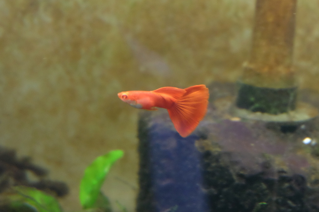 Guppy full red Dscf7914