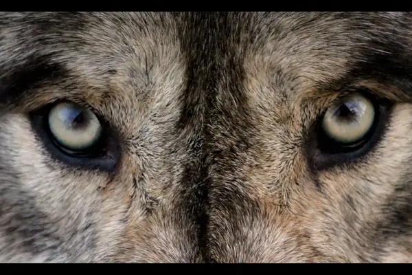Los lobos están volviendo y esta investigación podría resolver su mala relación Ptmk5310