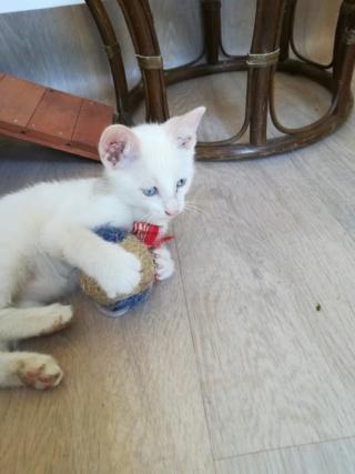 Odo, mâle blanc van et roux, type européen, né le 22.06.2018 Img_2011