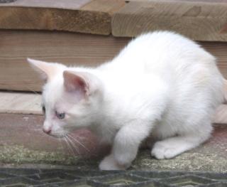 Odo, mâle blanc van et roux, type européen, né le 22.06.2018 Odo_410