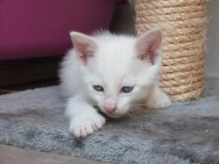 Odo, mâle blanc van et roux, type européen, né le 22.06.2018 Odo_610