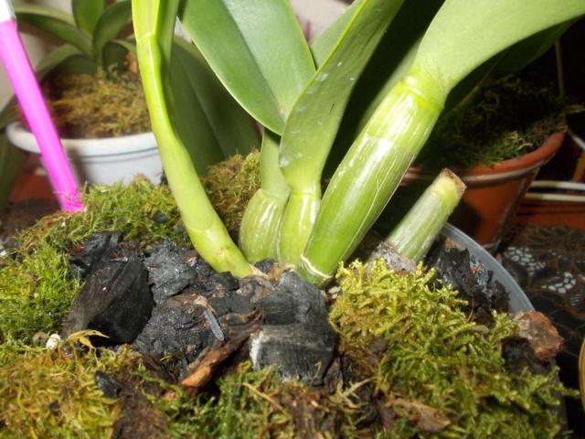 Посадка орхидеи рода Brassolaeliocattleya Dscn8540