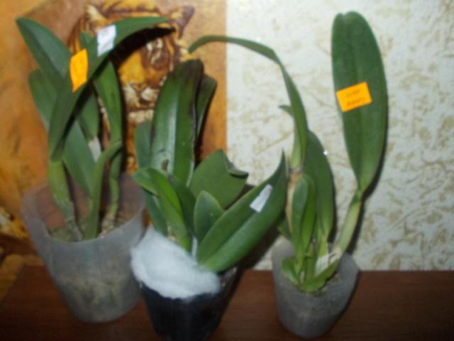 Заказ растений из Интернета. ПОСЫЛКА- ПЕРЕСЫЛКА Dscn8614