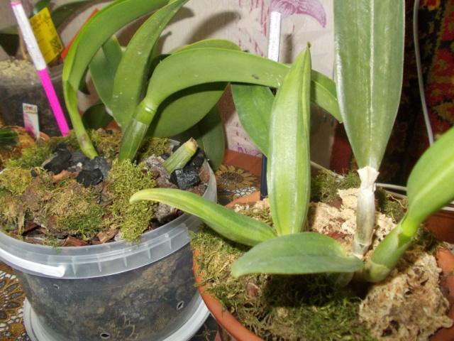 Посадка орхидеи рода Brassolaeliocattleya Dscn8621