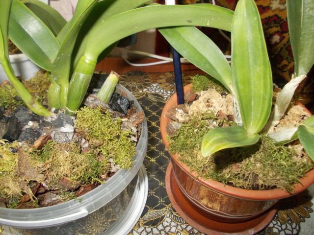 Посадка орхидеи рода Brassolaeliocattleya Dscn8622