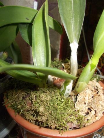 Посадка орхидеи рода Brassolaeliocattleya Dscn8625