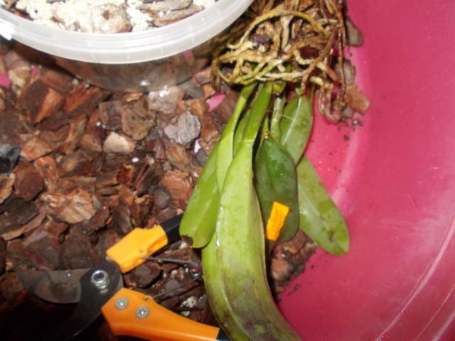 Посадка орхидеи рода Brassolaeliocattleya Dscn8629