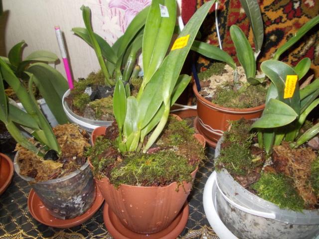 Посадка орхидеи рода Brassolaeliocattleya Dscn8631
