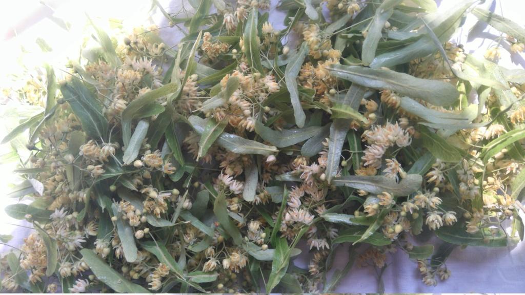 Tilleul fleurs et bractées  Dsc_2211